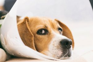 Penrose Drains for Dogs: Pros, Cons, and Alternatives