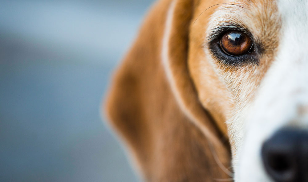 Cushing's Disease in Dogs: Assessing the Efficacy of Dietary Changes and Holistic Treatments