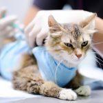 Feline Panleukopenia: Risk Factors, Prevention and Vaccines