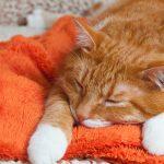 Feline Inflammatory Bowel Disease: Treating IBD in Cats