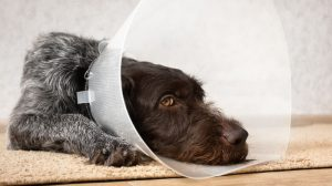 Avoiding Dog Neutering Complications: Risk Factors and Recovery