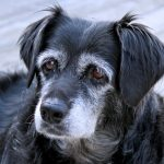 Senior Dog Dental Care and Anesthesia: FAQs and Best Practices