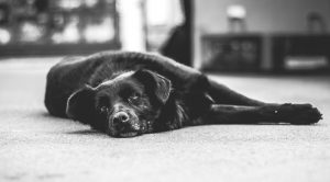 Diagnosing Canine Cognitive Dysfunction: Symptoms and Treatment